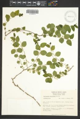 Image of Phyllanthus mocinianus