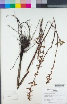 Image of Ludwigia curtissii