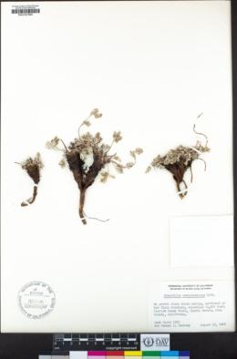 Potentilla pseudosericea image