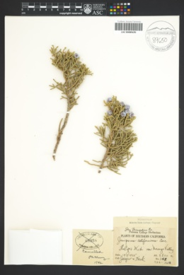 Juniperus californica image