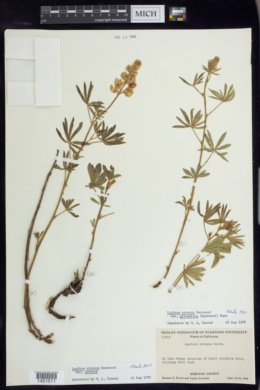 Image of Lupinus croceus
