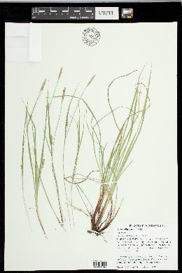 Carex oligocarpa image