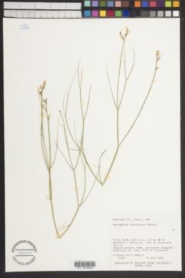 Image of Astragalus linifolius