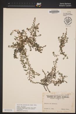 Soleirolia soleirolii image