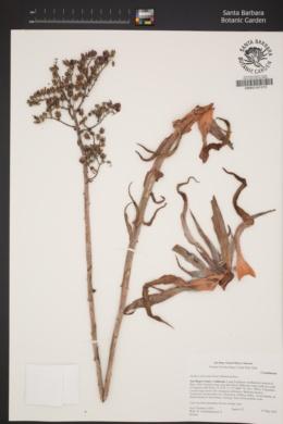 Dudleya lanceolata image