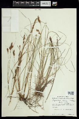 Image of Rhynchospora jaliscensis