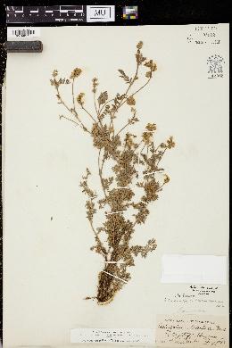 Astragalus humistratus var. hosackiae image