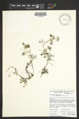 Ranunculus aquatilis var. diffusus image