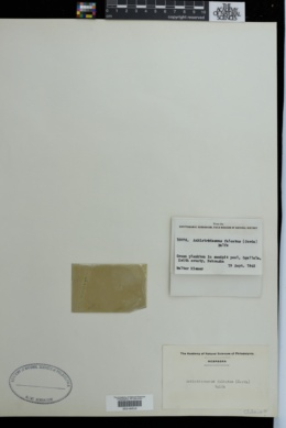 Ankistrodesmus falcatus image
