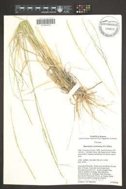 Sporobolus contractus image