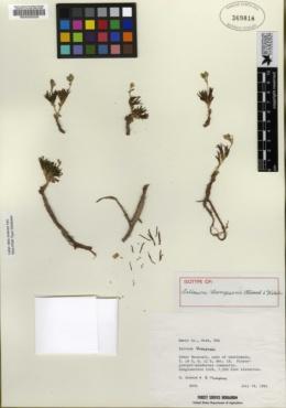 Talinum thompsonii image