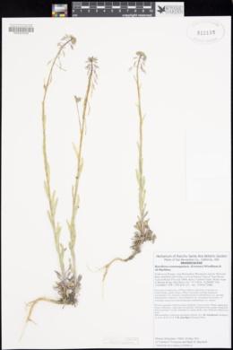 Boechera consanguinea image