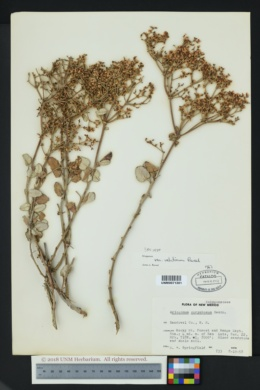 Eriogonum corymbosum image