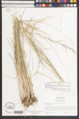 Nassella formicarum image