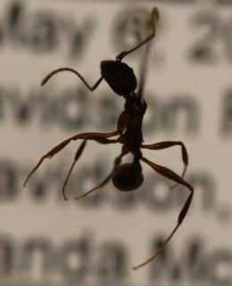 Aphaenogaster treatae image