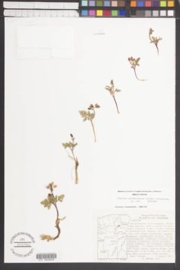 Image of Lomatium erythrocarpum
