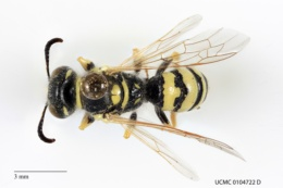 Image of Philanthus siouxensis