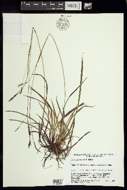 Image of Carex pertenuis