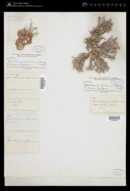 Ptilothamnion speluncarum image