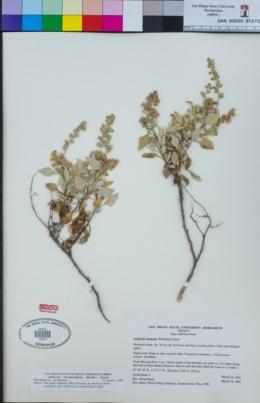Image of Ambrosia divaricata
