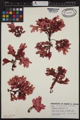 Hymenena cuneifolia image