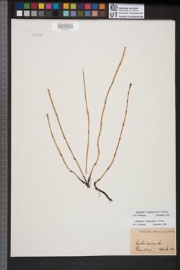 Equisetum × mackayi image