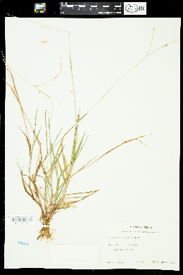 Image of Digitaria violascens