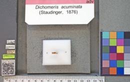 acuminata group image