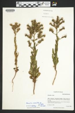 Phacelia crenulata image