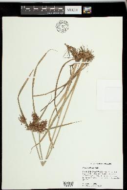Image of Cyperus pilosus