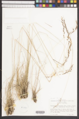 Piptochaetium stipoides image