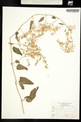 Polygonum baldschuanicum image