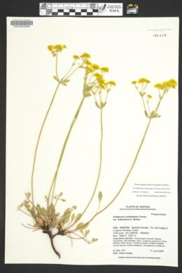 Eriogonum umbellatum var. subaridum image