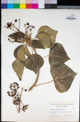 Hedera canariensis image