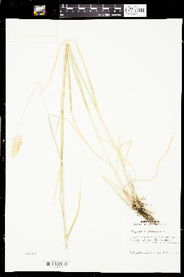 Phalaris aquatica image