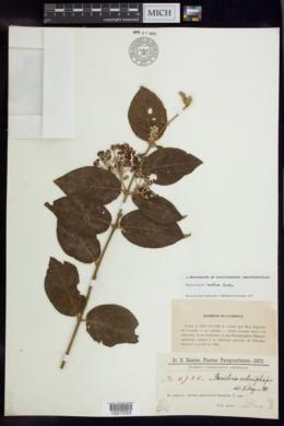 Banisteriopsis confusa image