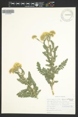 Image of Achillea taygetea