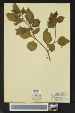 Lycianthes ciliolata image
