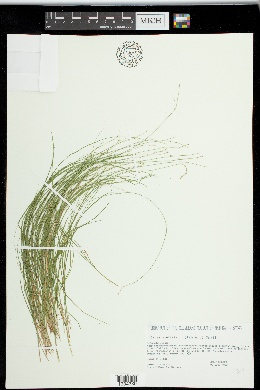 Carex radiata image