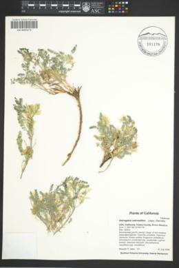Image of Astragalus subvestitus
