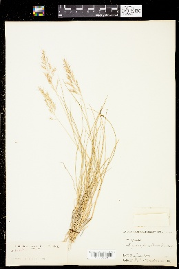 Image of Calamagrostis howellii
