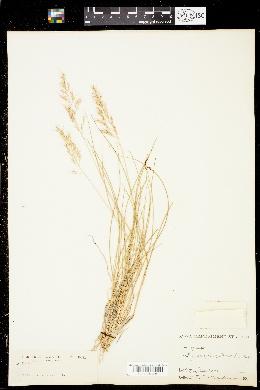 Image of Calamagrostis howellii