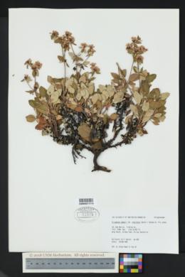 Eriogonum jamesii var. undulatum image
