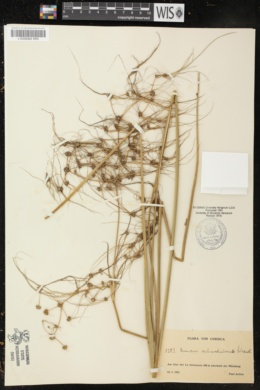 Juncus subnodulosus image