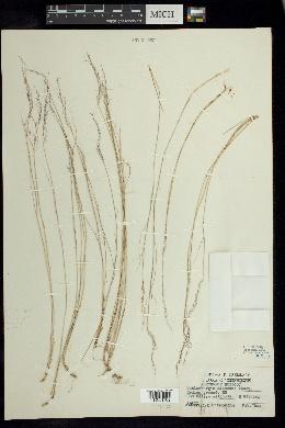 Muhlenbergia alamosae image