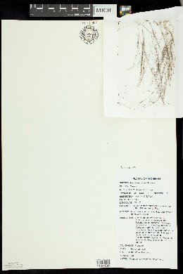 Image of Aristida necopina