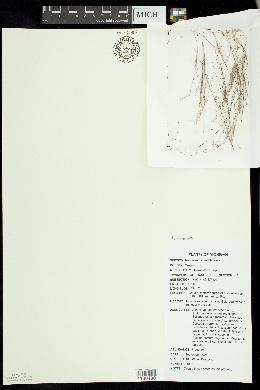 Image of Aristida necopina