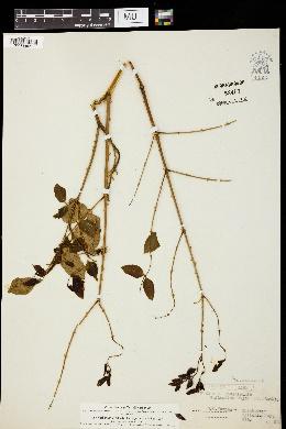 Image of Caesalpinia globulorum