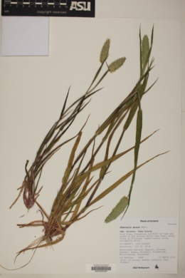 Phalaris minor image