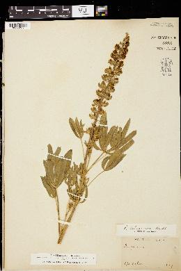 Image of Lupinus scheuberae